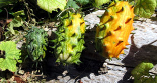 How to grow Grow Kiwano Horned melon in containers |Home Gardening | Kiwano nutrients | Growing information
