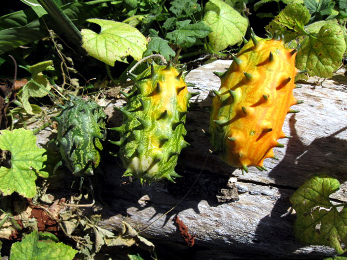 How to grow Grow Kiwano Horned melon in containers | Growing Kiwano melon