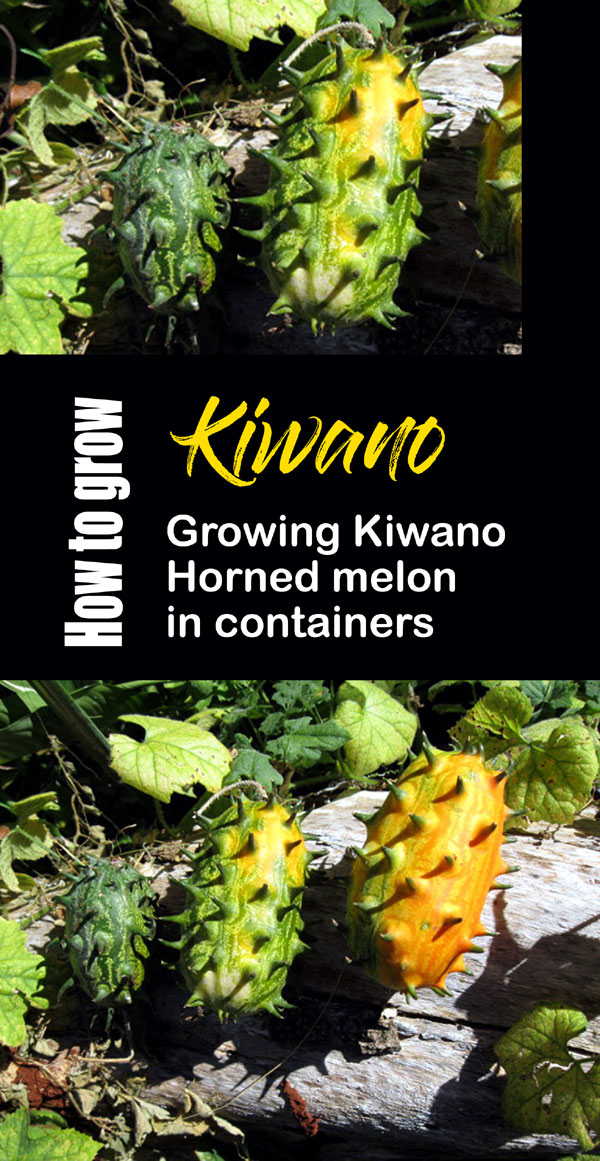Kiwano
