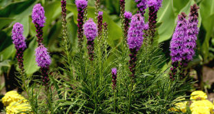 How to grow Liatris | Blazing star | growing Liatris Plants in containers