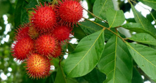 Grow Rambutan |Home Gardening |Healthy Garden |Health through Nature |Easy growing tips