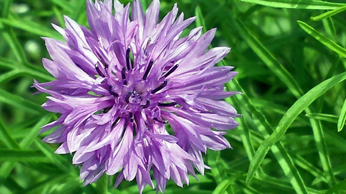 Growing Cornflower | Bachelor button | Cornflower care