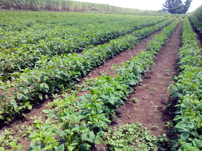 Cluster Beans farming