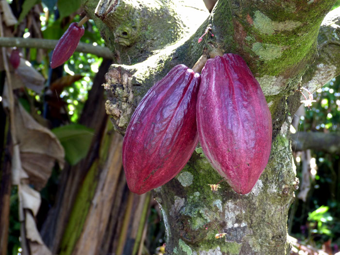 Growing Cocoa tree | Cocoa plant | Health Benefits of Cocoa | Cocoa care
