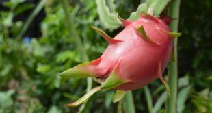 How to grow Dragon Fruit | Dragon fruit plant | Pitaya fruit