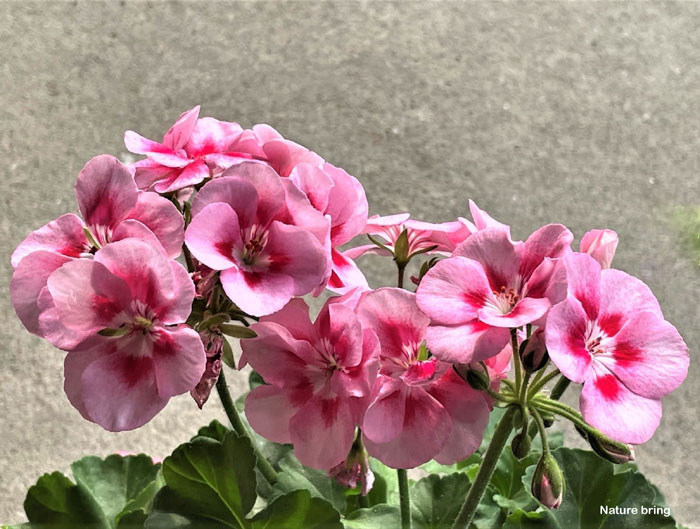 How to grow Geranium in containers