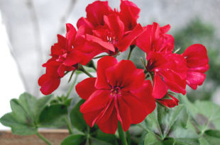 Growing Geranium | pelargonium