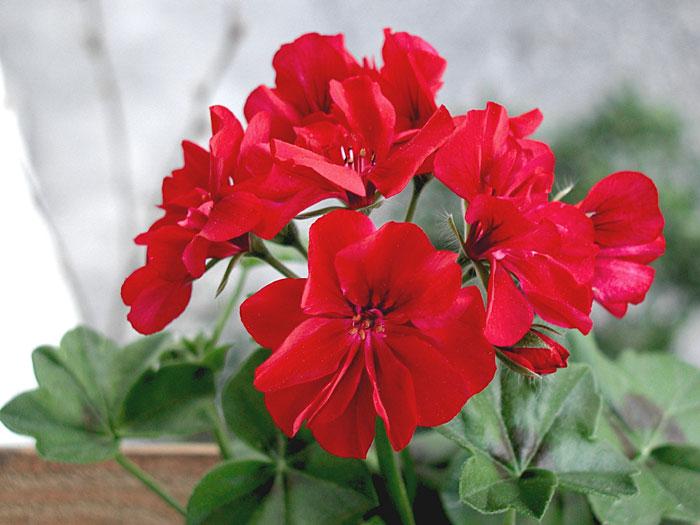 How to grow Geranium in containers | Growing Geranium | pelargonium