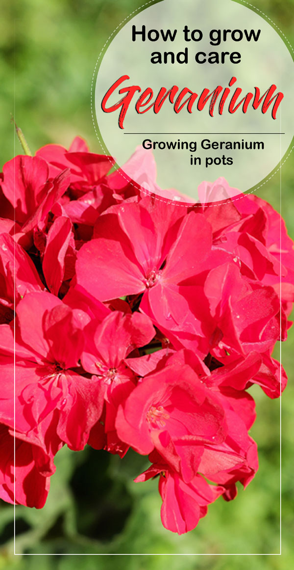 Growing Geranium | pelargonium | houseplats