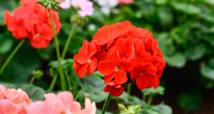 Geranium houseplant | How to grow Geranium in containers | Geranium care