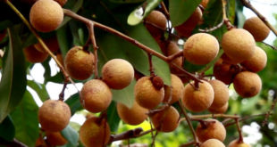 Longan tree | How to grow Longan fruit tree | Growing Longan tree in a container
