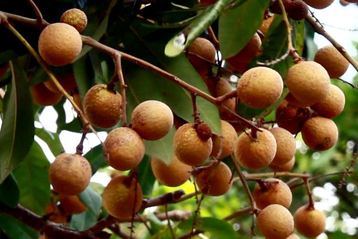 Longan tree | How to grow Longan fruit tree | Growing Longan tree in a container
