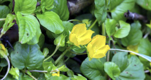 Golden Creeping Jenny | How to creeping jenny  in the pot | ground cover plants
