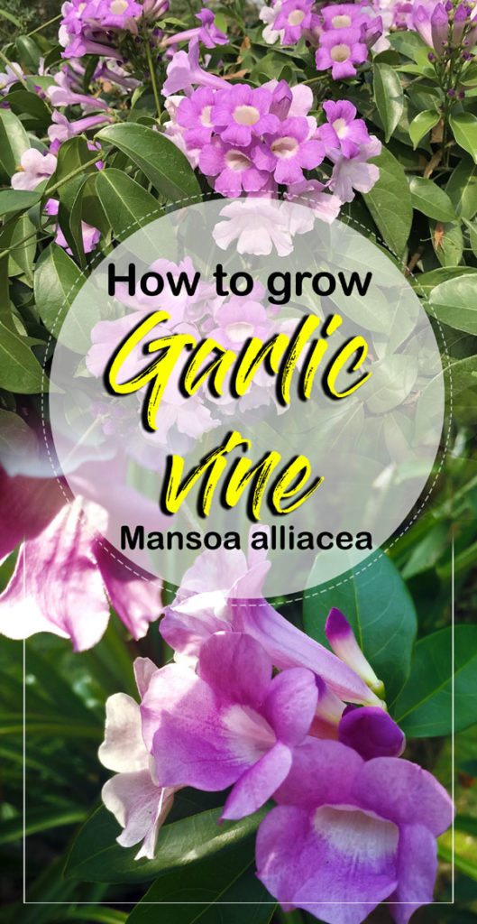 Garlic vine | false garlic | How to grow garlic vine