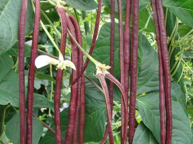 How to grow Long beans |Asparagus beans | yardlong beans | Growing Long beans