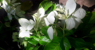 How to grow Mussaenda Bush | Growing Mussaenda