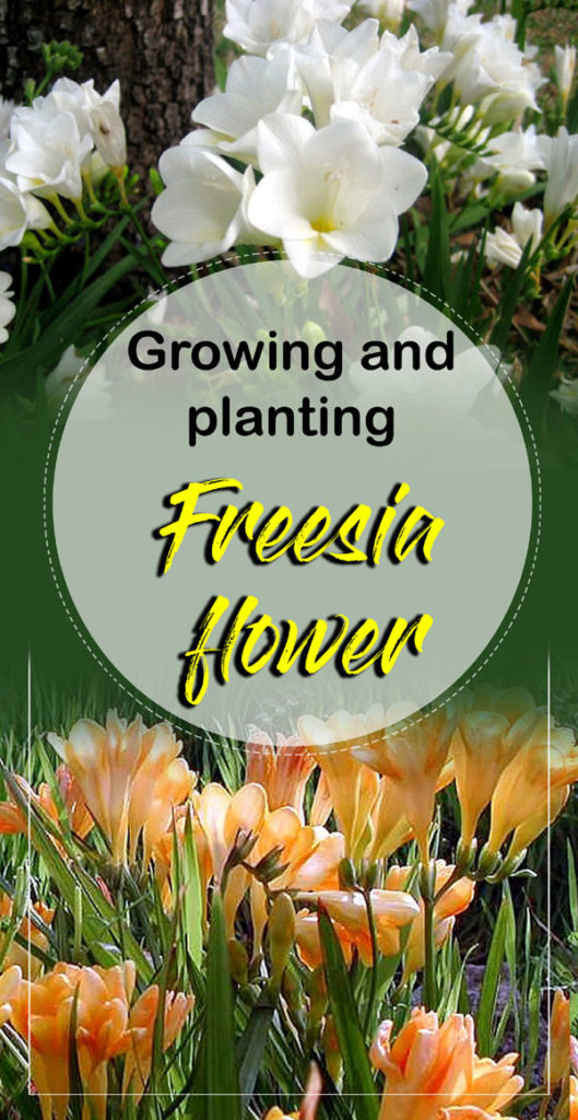 Freesia | Freesia flower | freesia bulbs