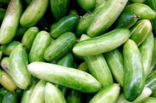 How to grow Ivy Gourd   Growing Coccinia Grandis   Tindora