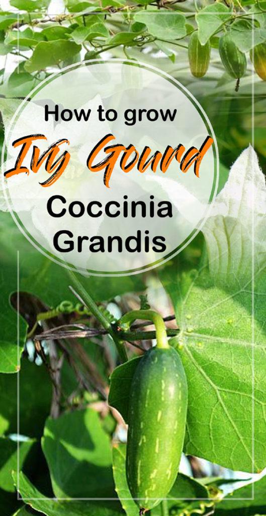 Ivy Gourd