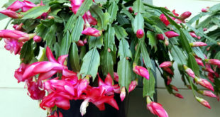 How to grow Christmas cactus | Christmas cactus care | Holiday cactus