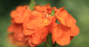 Growing Crossandra flower | How to grow Crossandra in a container