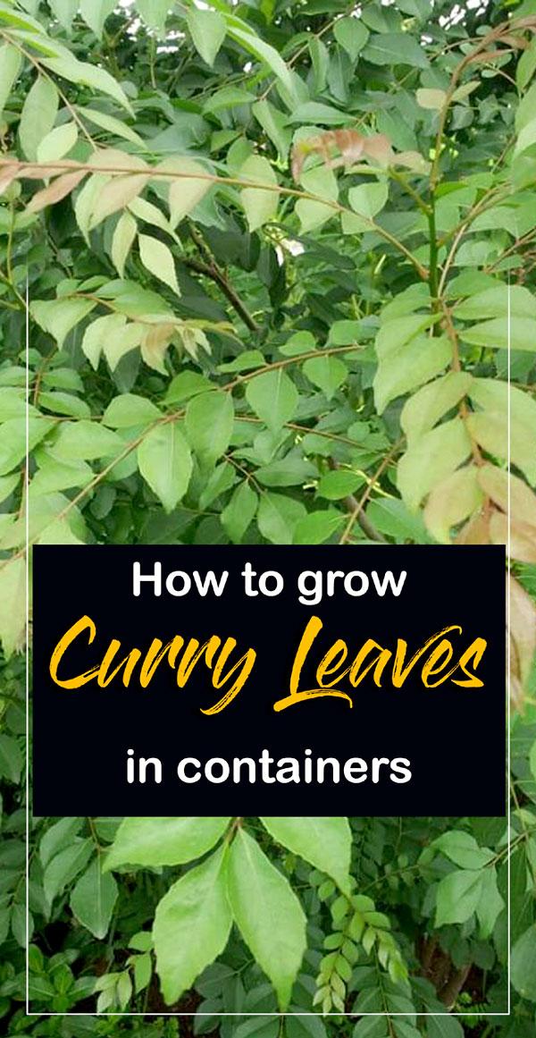 Curry leaves | Curry leaf plants | Kadi Patta