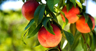 How to grow Peach in containers | Growing Peachtree | Aadoo