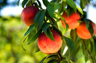 Apricots | peaches in pots | Growing Peaches