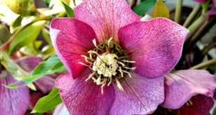 Growing Hellebore | How to grow Hellebores in containers