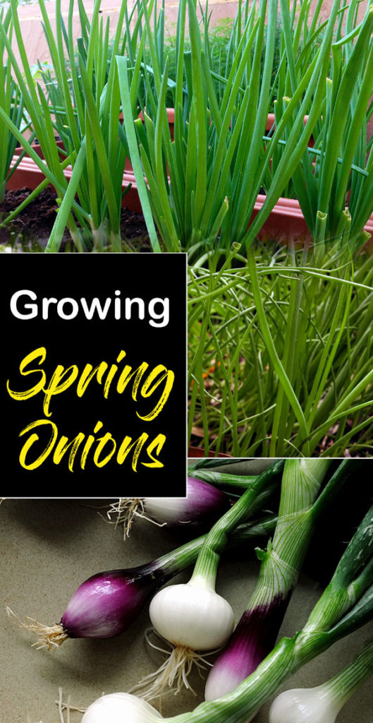 Spring Onions | how to grow spring onions | growing spring onions