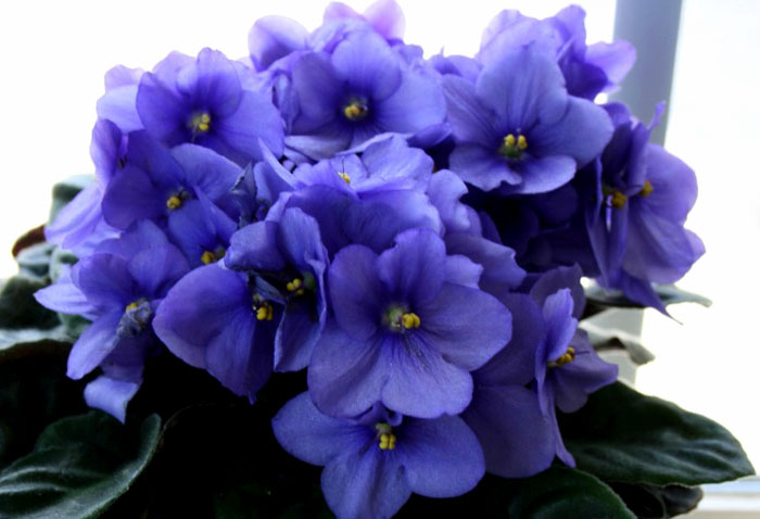 How to grow African violet | Growing African violets Houseplant