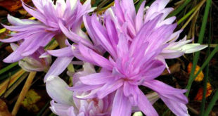 How to Grow Colchicum | Growing Colchicum bulb | Meadow saffron