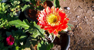 Growing Gerbera Daisies | How to grow Gerbera plants in container