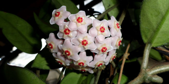 How To Grow And Care Hoya Plants Growing Wax Plants Naturebring