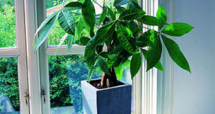 How to care Money Tree Plant  | Growing Pachira aquatica