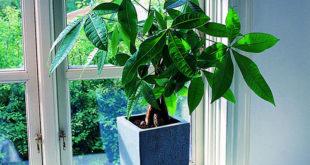 How to care Money Tree Plant  | Growing Pachira aquatica