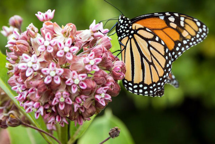 Butterfly Garden | Pollinator pets