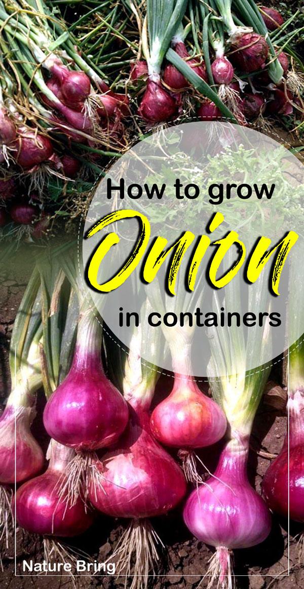 Onions | Allium cepa