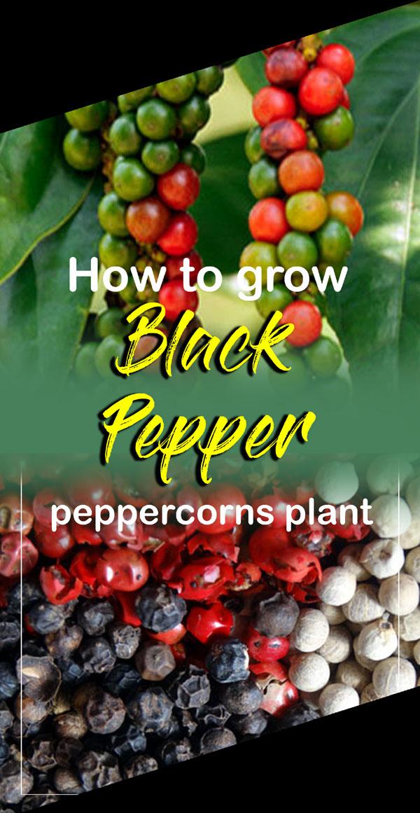 Black Pepper | Specie plant