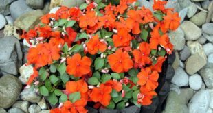 How to grow Impatiens in containers | Growing Impatiens Plant