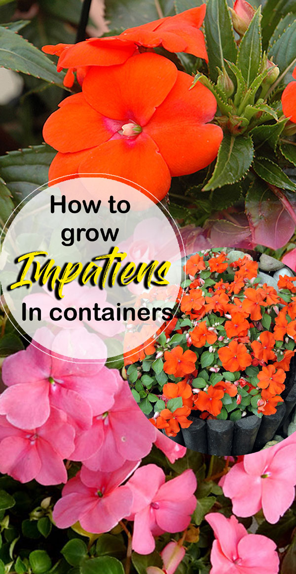 how to grow impatiens | impatiens flowers | new guinea impatiens