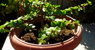 How to grow Jade plant | Growing and caring Jade plants | Crassula ovata