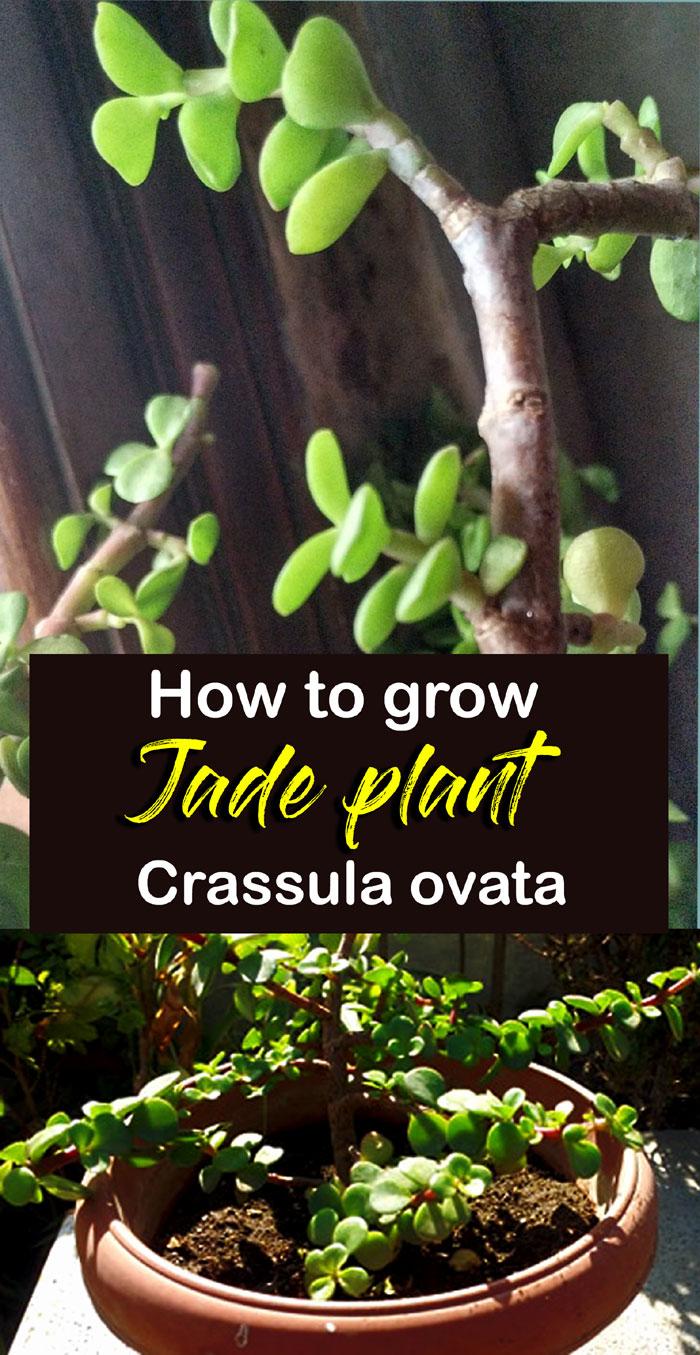 Jade plant | crassula ovata