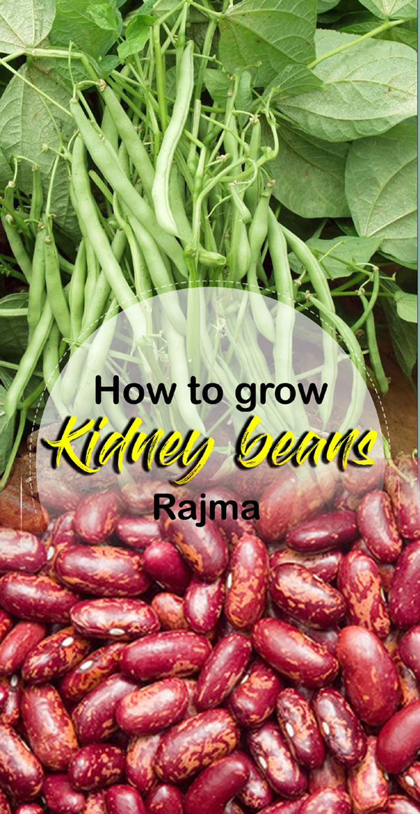 Kidney Beans | phaseolus vulgaris | Rajma recipe