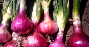 How to grow Onion | Growing Onions in container | Onion care