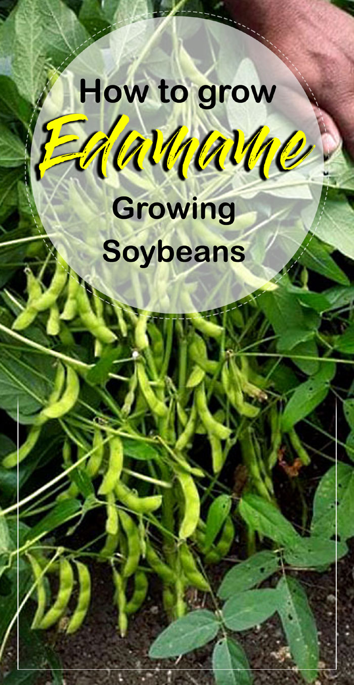 Soybean | growing soybean | Edamame | how to grow soybean