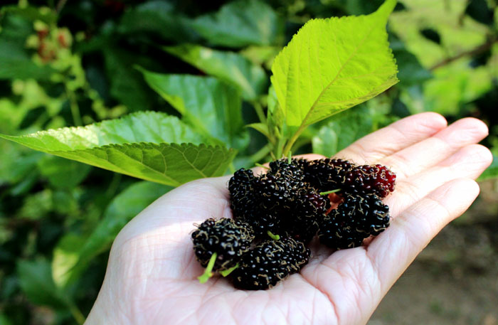 How to Grow Mulberry | Growing Mulberry tree in containers | Mulberries care