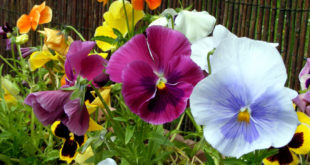 Growing Pansy flower | How to grow Pansy  | Growing Pansies in containers