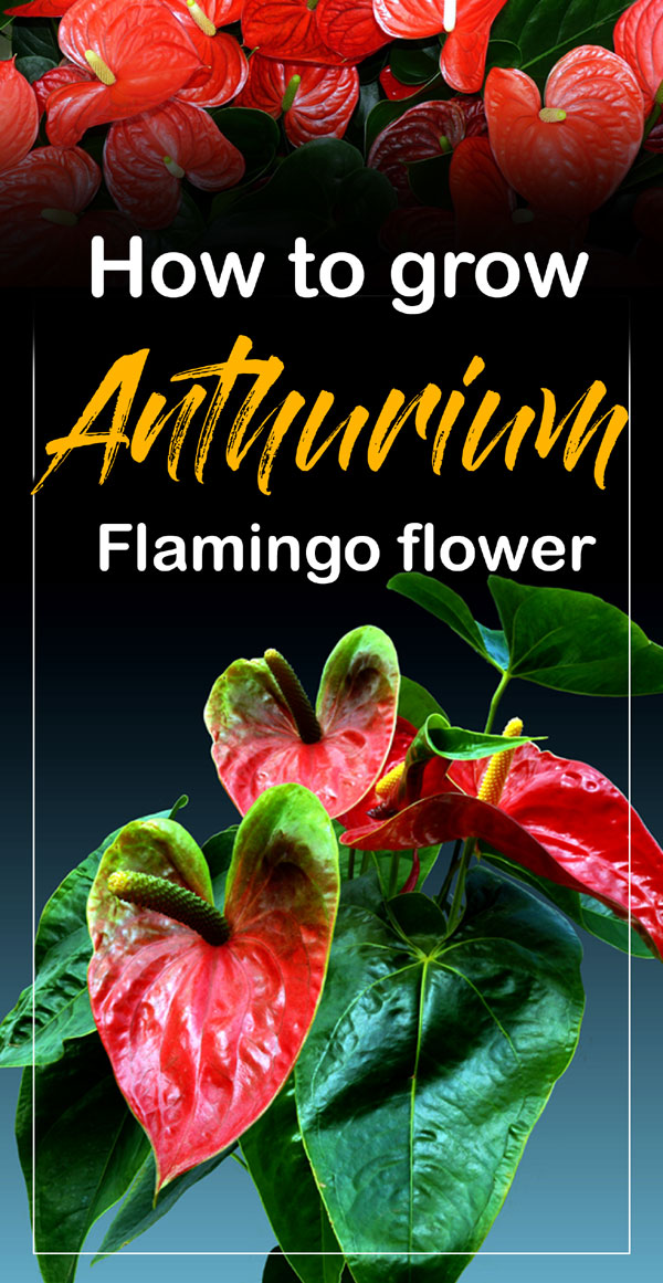Anthurium | flamingo lily | anthurium plant