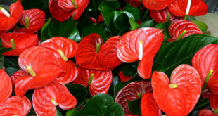 How to Grow Anthurium Plants | Growing Anthuriums in pots | Flamingo flower